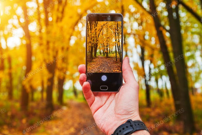 Man taking picture of yellow trees in autumn, with phone
