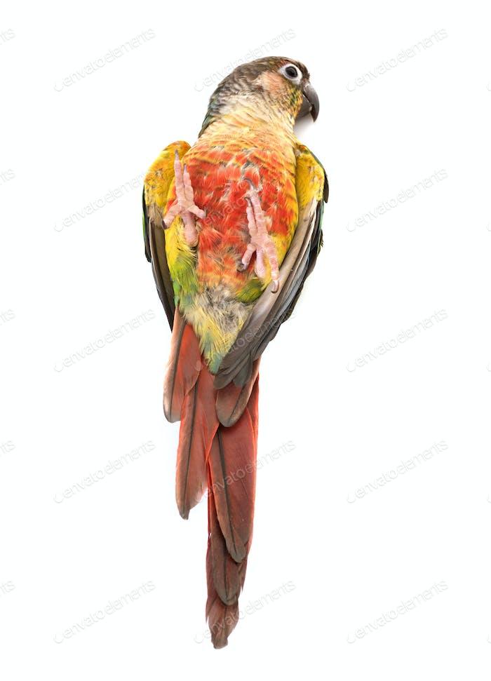 Green-cheeked parakeet in studio