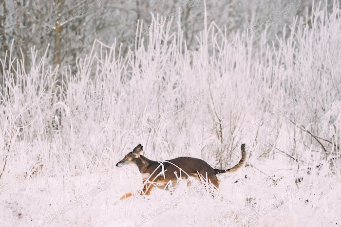 Hunting Sighthound Hortaya Borzaya Dog During Hare-hunting At Wi