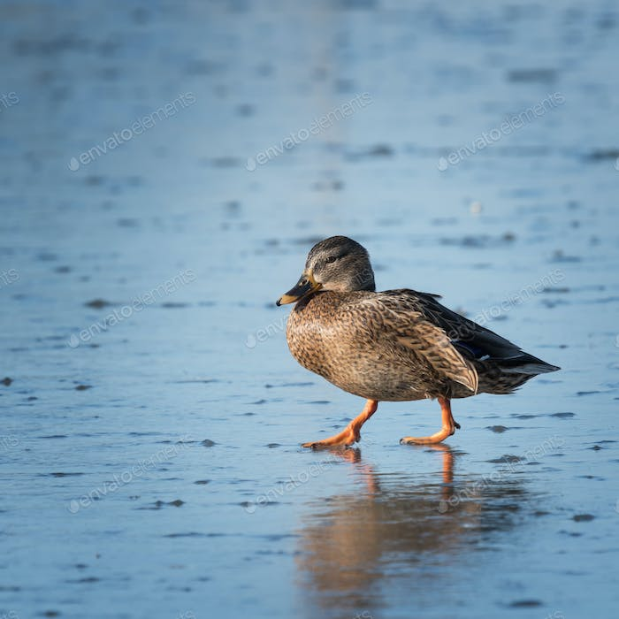 Small speckled duck walking on ice