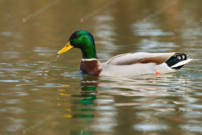 Mallard floating on river in springtime nature