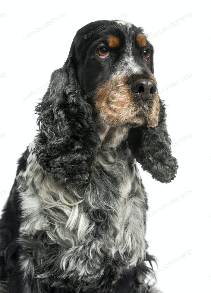 Close-up of an English cocker spaniel, looking up, 8 years old, isolated on white