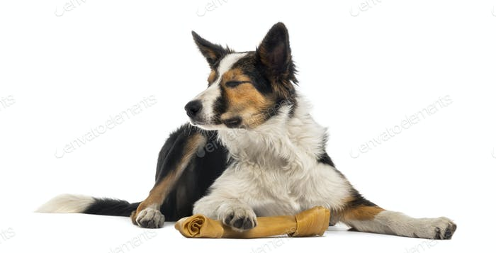 Border collie lying with a bone, eyes closed, isolated on white