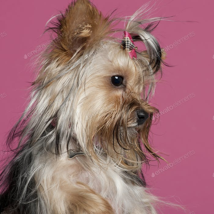 Yorkshire Terrier (9 months old)
