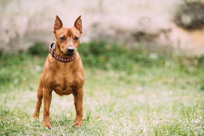 Red Brown Miniature Pinscher Pincher Min Pin Zwergpinscher Dog S