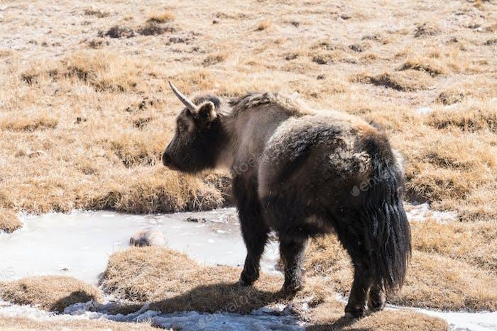 yak on snow area plateau