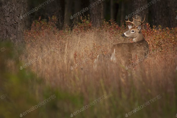 Male deer with antlers camouflaged in tall grass.