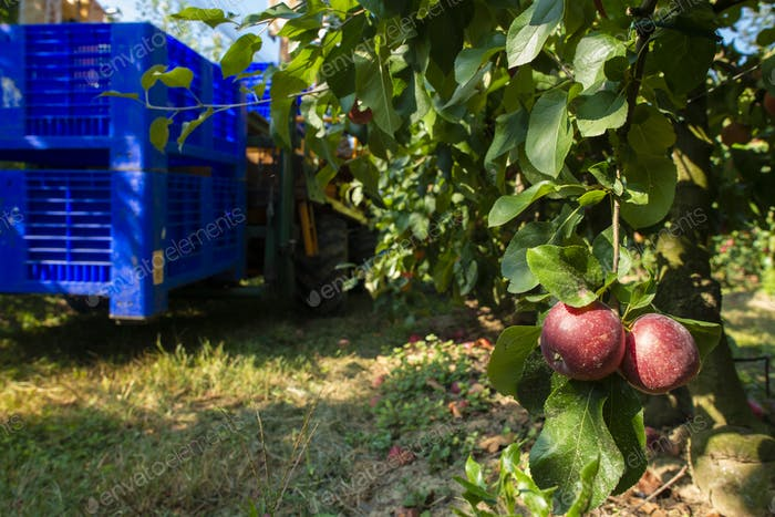 Harvest apples in big industrial apple orchard. Machine and crat