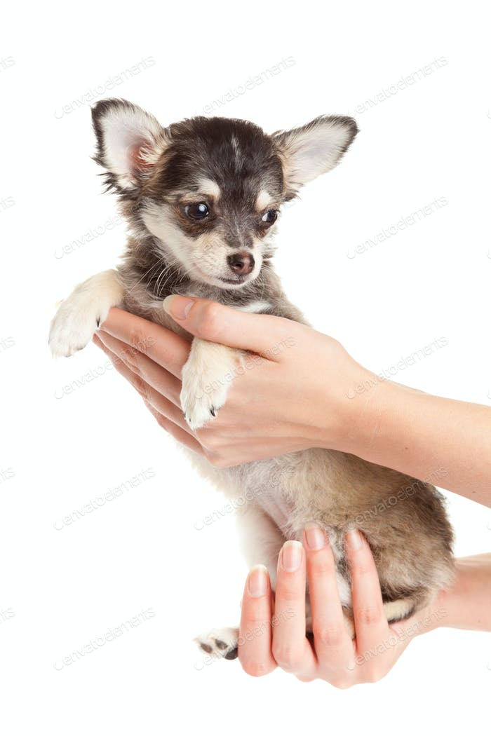 Hands holding puppy.  little puppy sitting on the hand. chihuahua dog isolated on white background