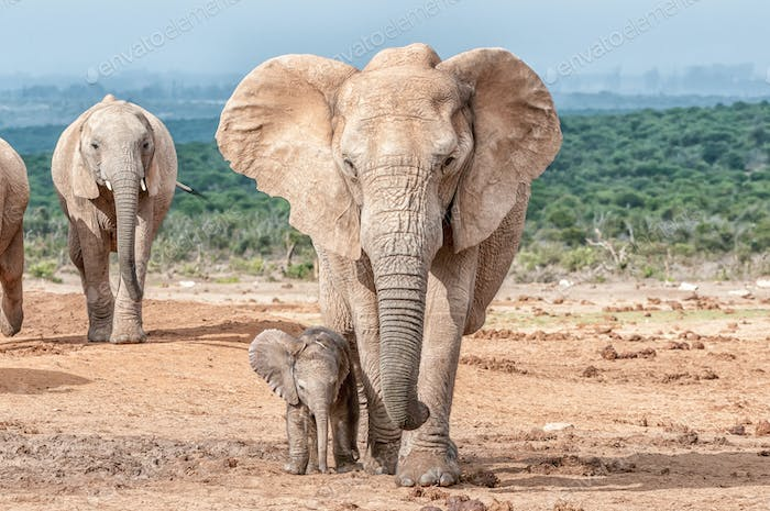 Elephant calf walking next to its mother