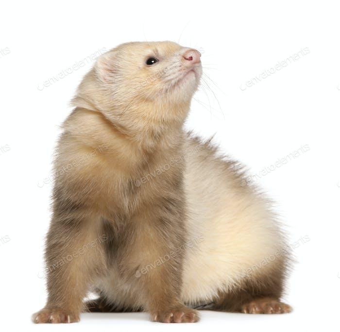 Ferret (6 months old), Ferret (6 months old)