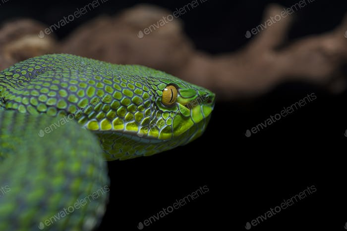 Tree pit viper isolated on white background
