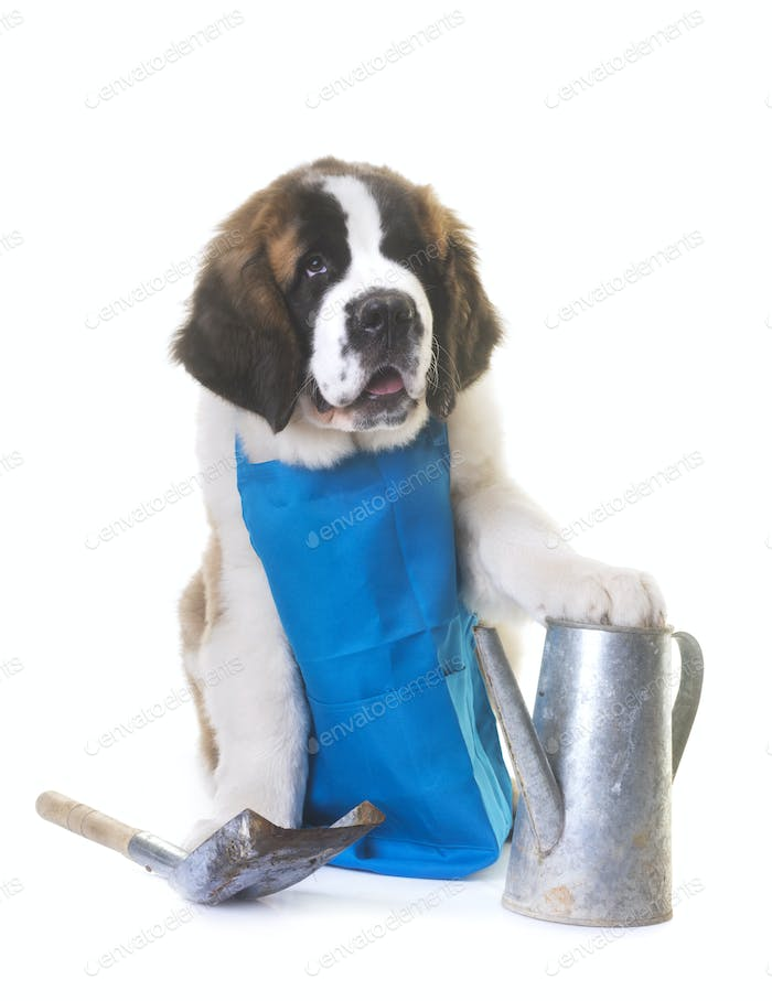 Thumbnail for puppy saint bernard gardener