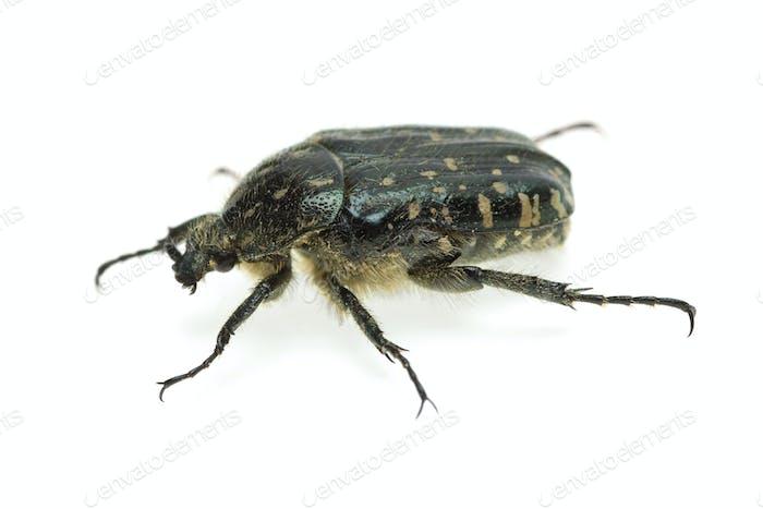 Alleculid beetle (Tropinota (Epicometis) hirta Poda (Scarabaeidae))
