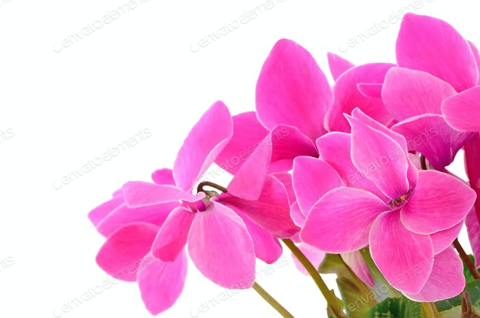 Close up cyclamen flowers