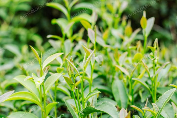 tea growing with green background