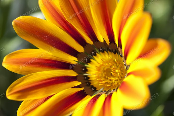 Gazania yellow and red color, macro detail