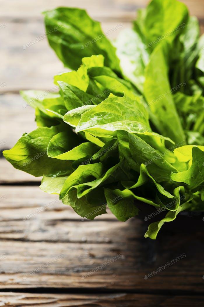 Fresh green chicory