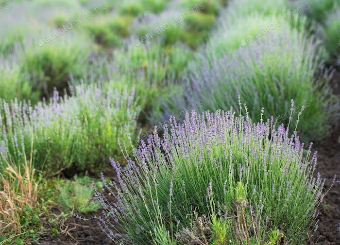 Beautiful lavender field closeup.