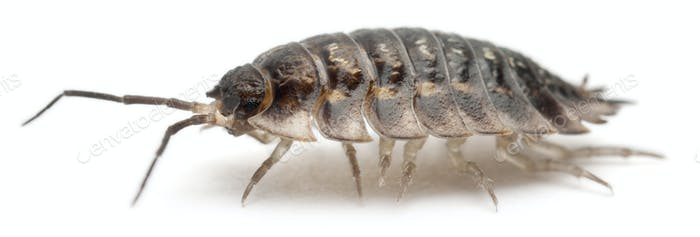 Common woodlouse, Oniscus asellus, in front of white background