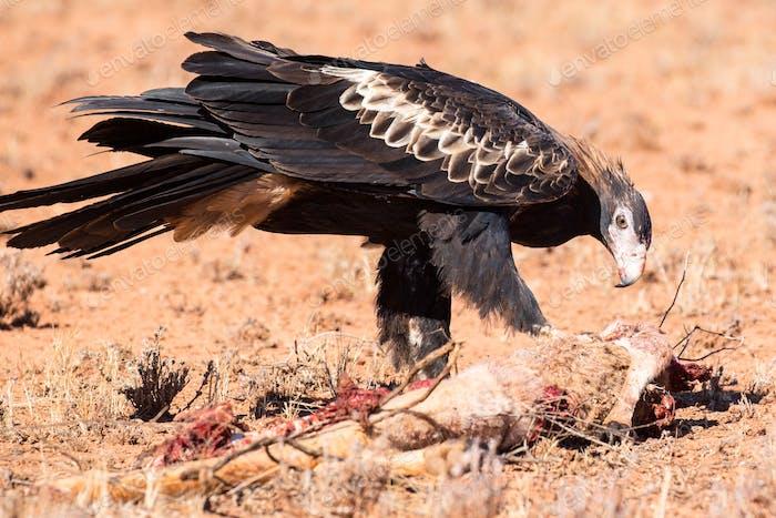 Australian Keilschwanz Adler Essen ein Känguru