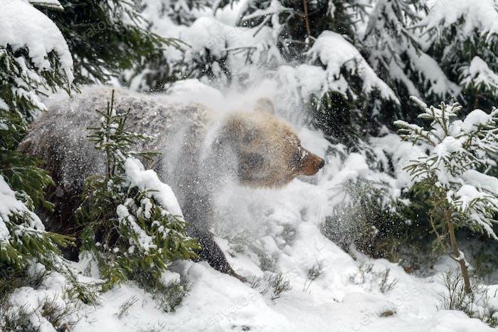 Wild adult Brown Bear (Ursus Arctos) splashing snow in the winter forest