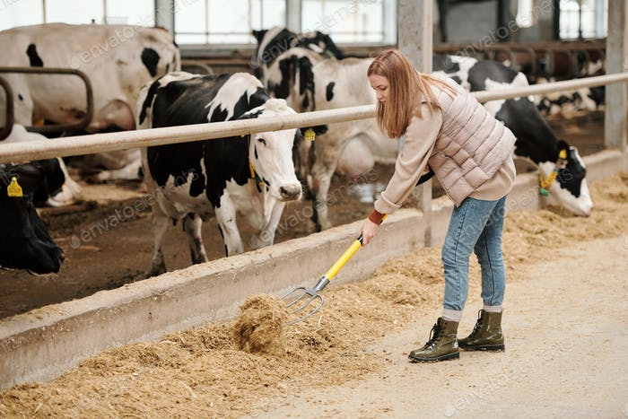 Contemporary female worker of animal farm putting livestock feed for cows