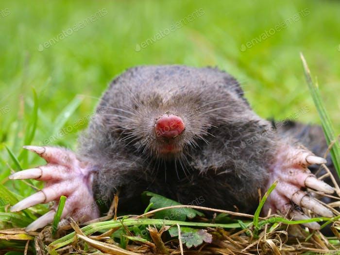 European Mole Head