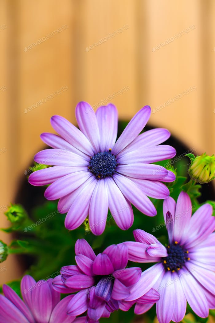 schöne lila Gänseblümchen mit Platz für Text