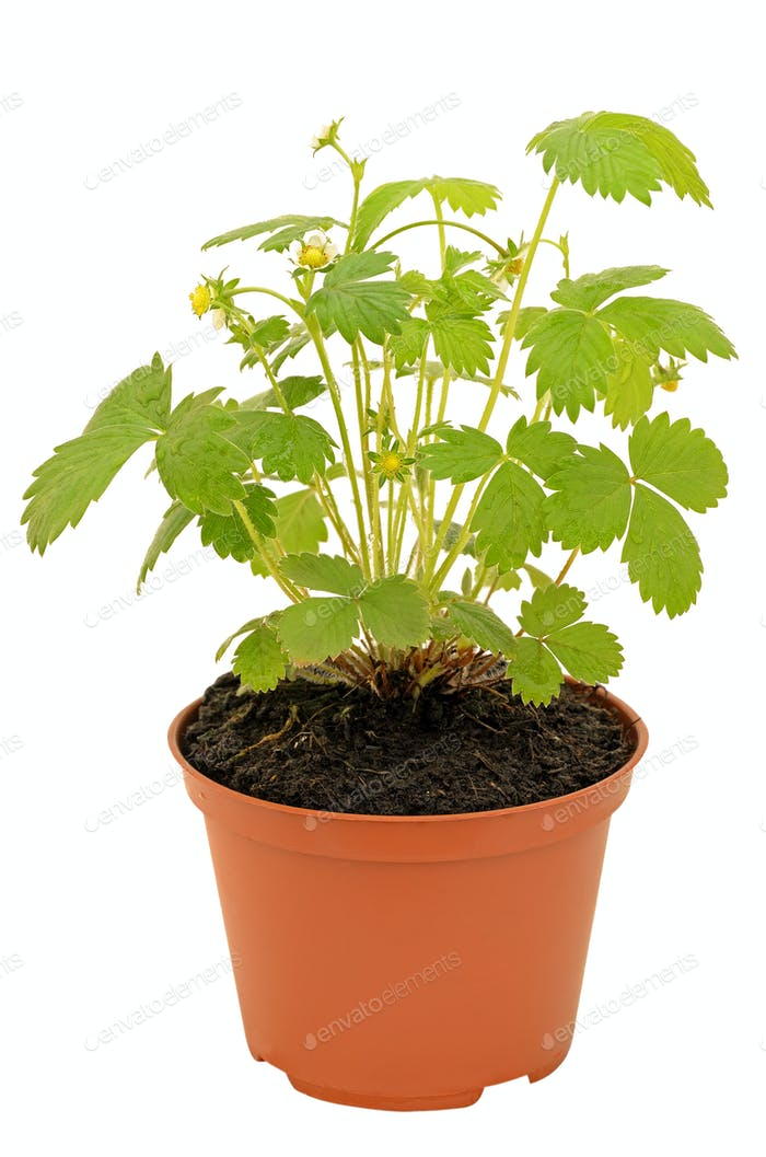 Strawberry bush in a flowerpot