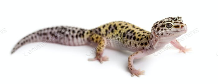 Leopard gecko in front of a white background