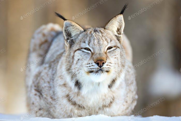 Closeup of Eurasian lynx relaxing on snow