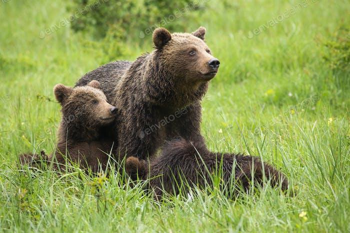 Braunbärenfamilie ruht im Sommer auf Wiese