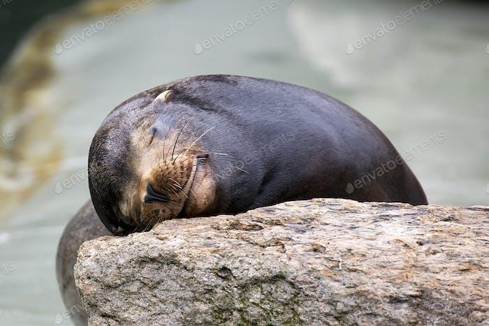 Seal sleeping on the stone