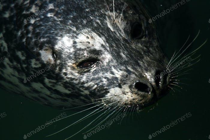 Seal at Fishermans Wharf, Victoria, BC, Canada