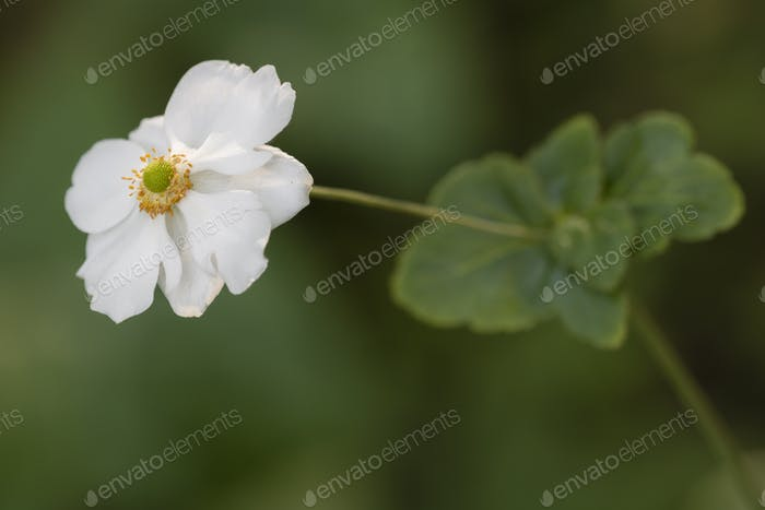 Chinese or Japanese anemones, thimbleweed, or windflower