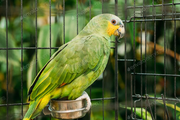 Orange-winged Amazon Or Amazona Amazonica, Also Known Locally As