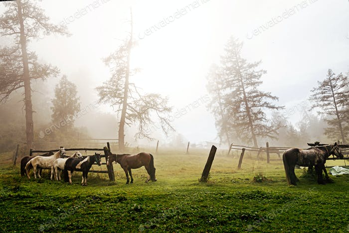 horses on leash on foggy