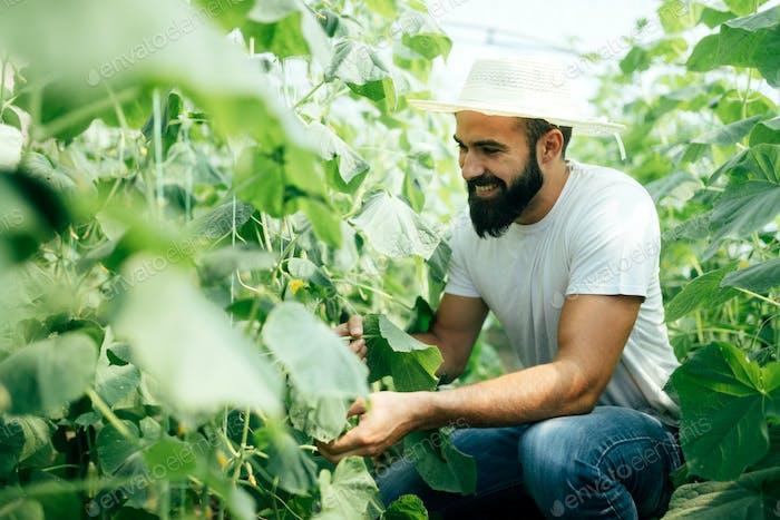 Landwirt pflückt frische Gurken aus seinem Gewächshaus