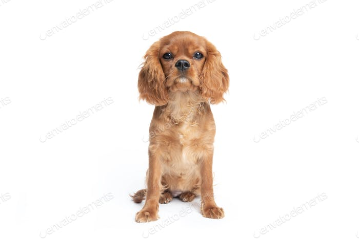 Sitting puppy of king charles cavalier spaniel isolated on white
