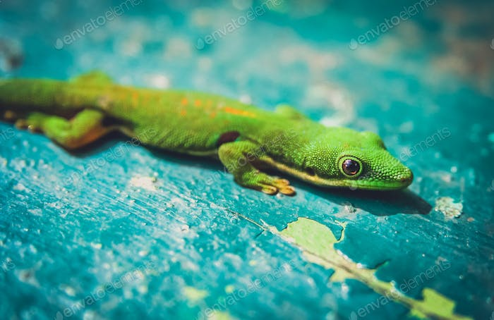 Small green gecko