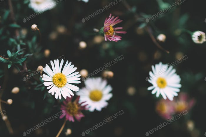 Close-up of small chamomile flowers