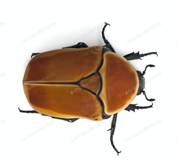 Pachnoda marginata, a species of beetle, Flower chafer, in front of white background