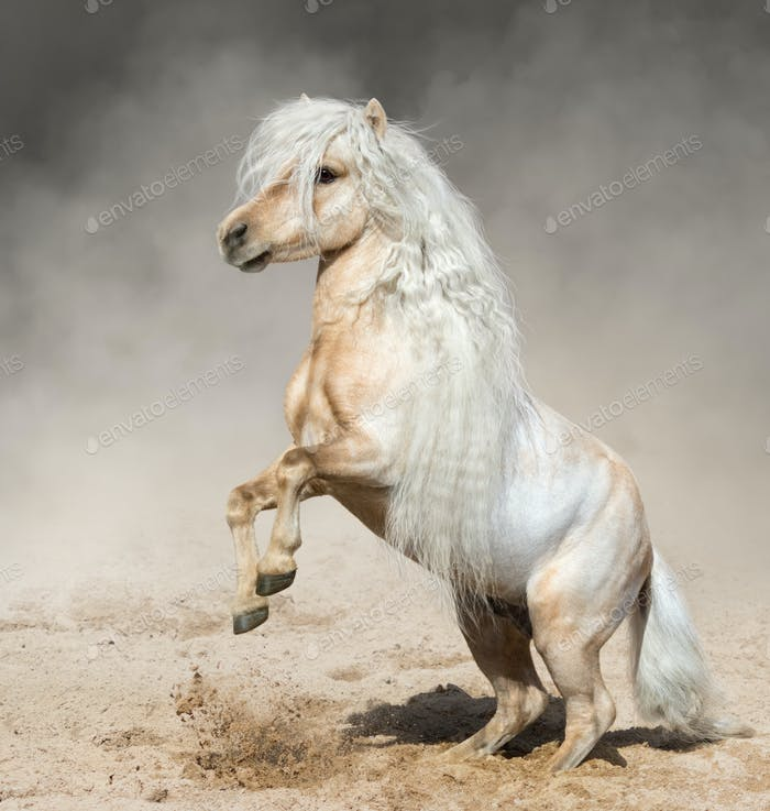 Palomino Miniature Horse with long mane rearing in dust.