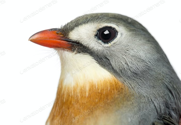 Close-up of a Red-billed Leiothrix, Leiothrix lutea, isolated on white
