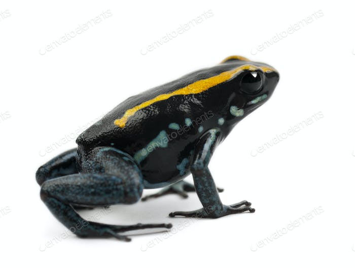 Golfodulcean Poison Frog, Phyllobates vittatus, against white background