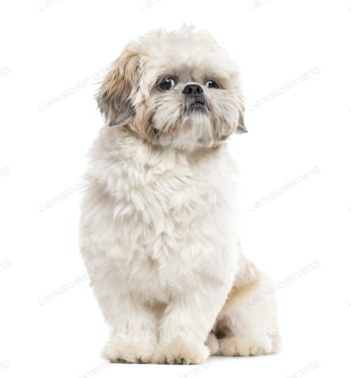 Shih Tzu sitting and looking away, isolated on white