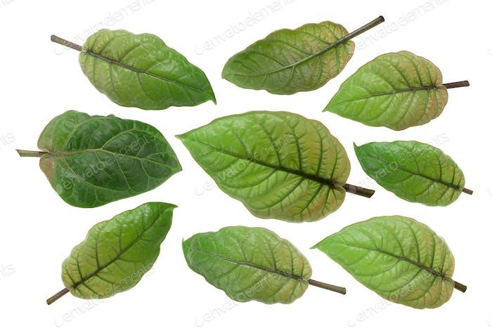 Tamarillo s. betaceum leaves, paths