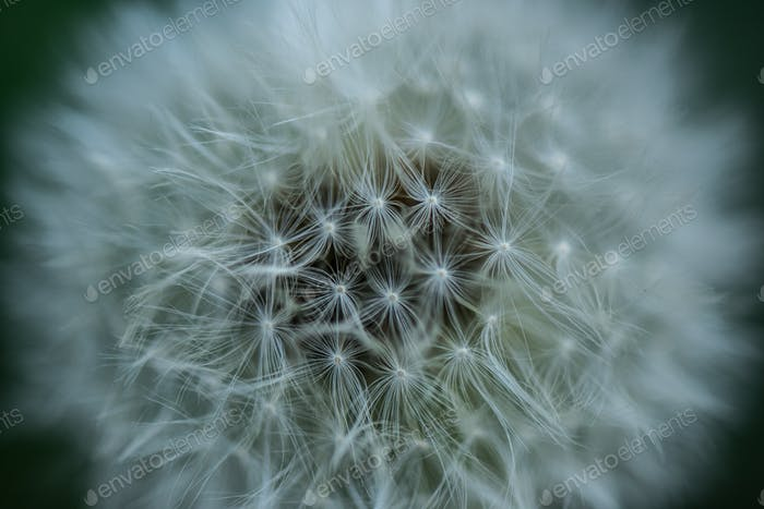 close up view of tender dandelion background
