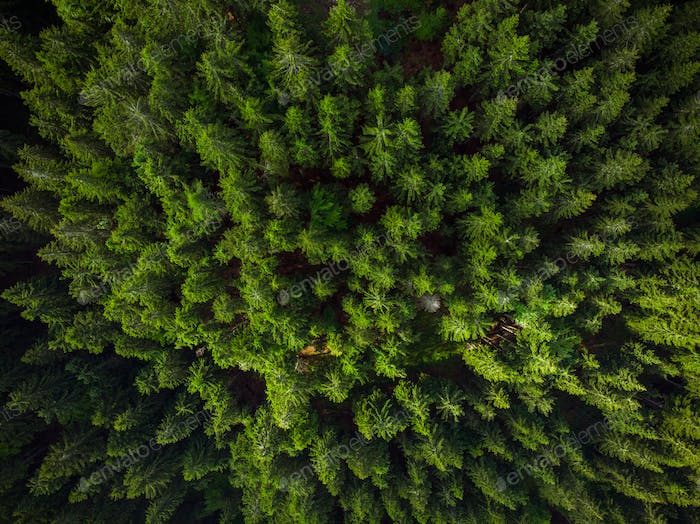Green forest birds eye view, drone photo
